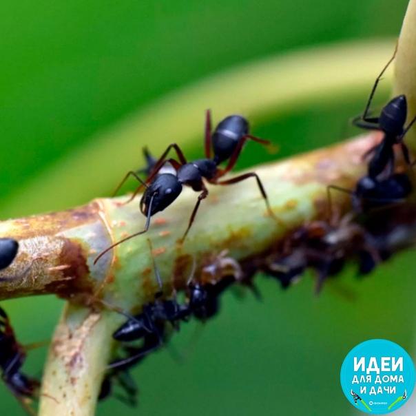 Манка и пшено мне от муравьёв не помогают