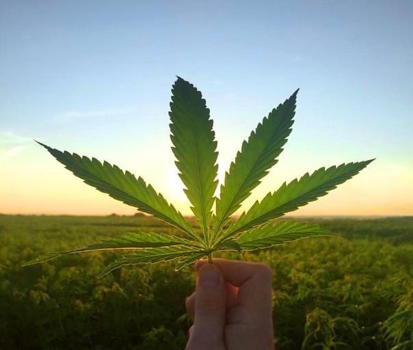 Где растет в нижним новгороде конопля раннецветущие сорта марихуаны