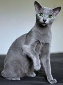 russian blue cat - 735×986
