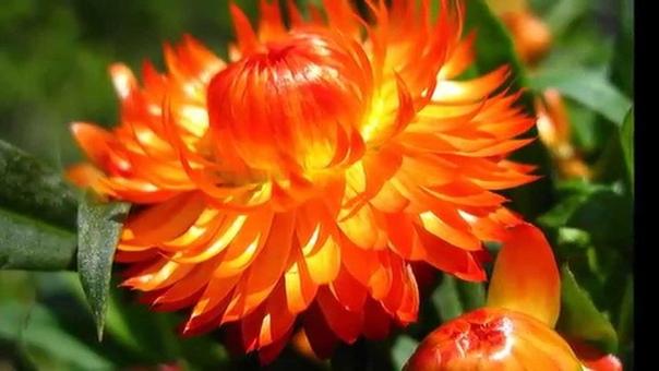Бессмертник - уход за растением и полезные свойства цветка. Цветок жизни бессмертник с латинского переводится как «золотое солнце», это растение широко используется в лечебных целях. Сегодня