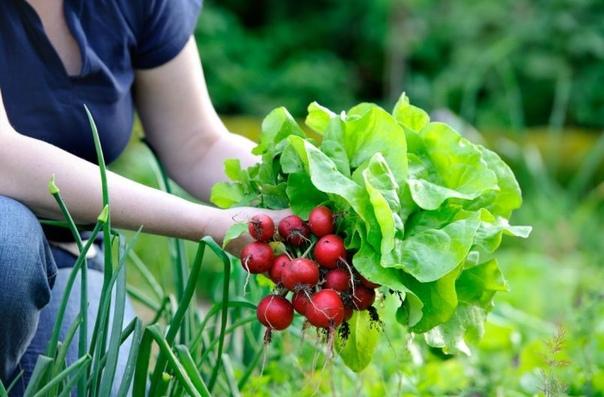 Какие овощи и зелень можно посадить в августе и собрать второй урожай