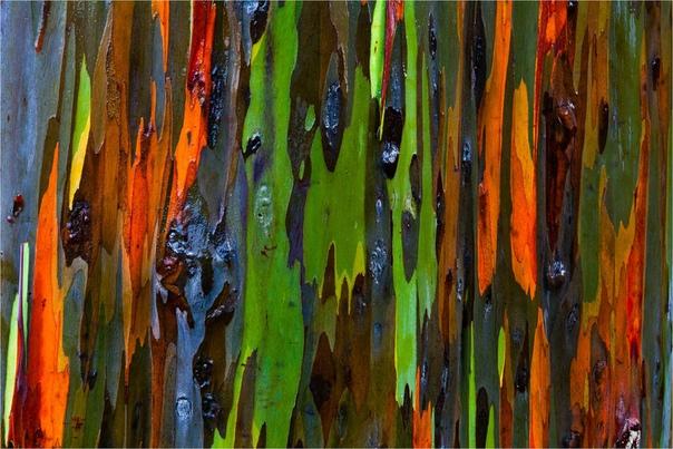 Радужный эвкалипт  одно из самых удивительных растений на нашей планете!