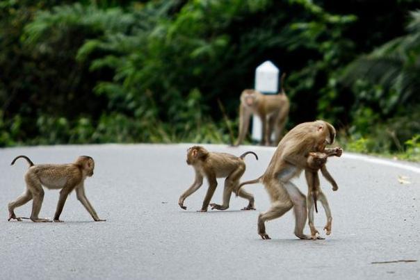 На руках у меня засыпай. В Азии обезьяна безуспешно пыталась оживить своего детёныша, которого сбила машина.Трагедия произошла в одном из национальных парков Таиланда 1 июля.Когда смотрители